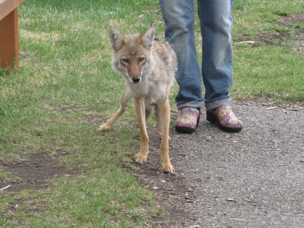 A friendly rescued coyote in a nature center in Southern Montana